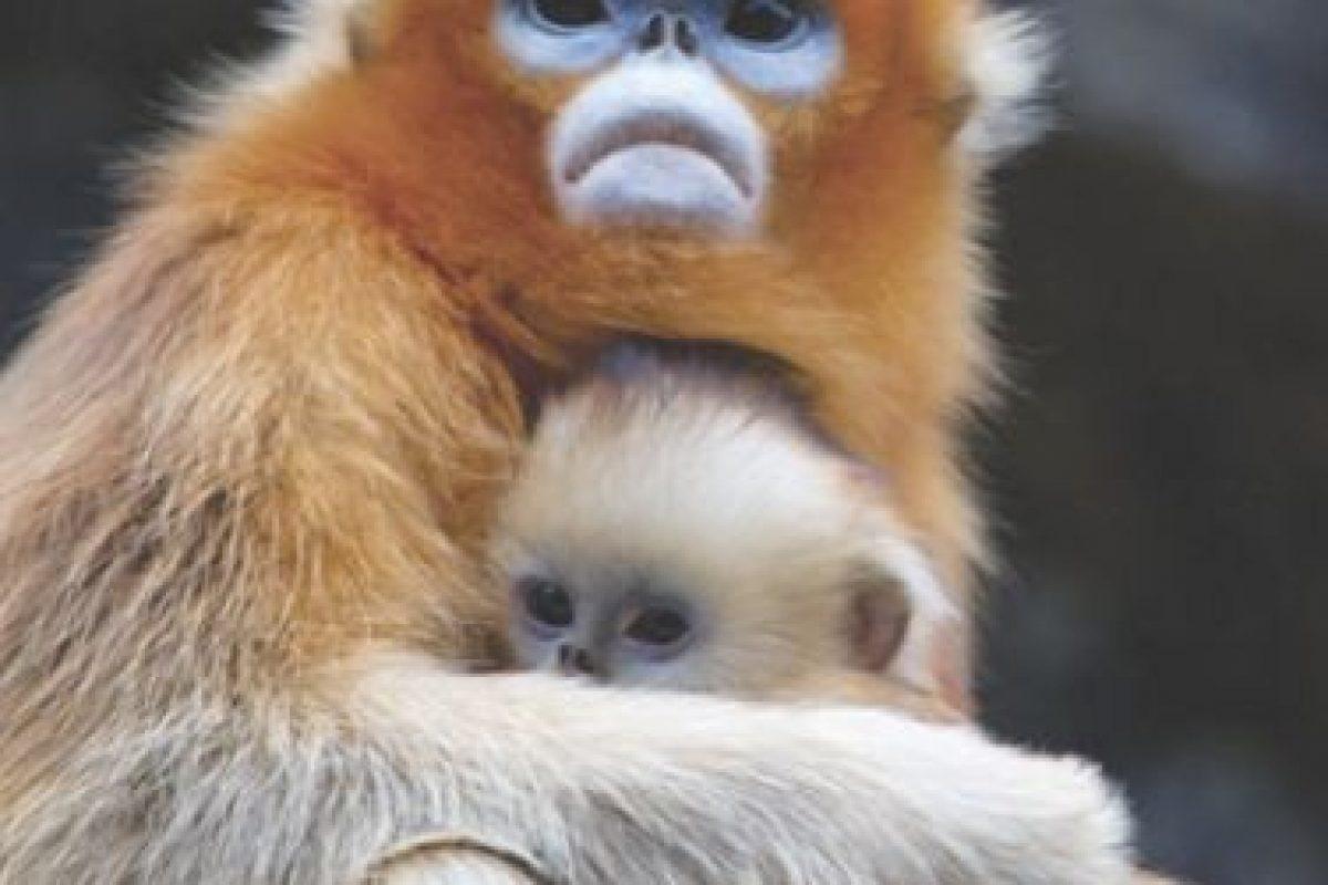 El mono dorado de nariz chata (Rhinopithecus roxellana) tiene una expresión muy parecida a la del ser humano; incluso se compara con un Dios, según la tradición china local. ¿No le parte el corazón mirar esos dulces y tiernos ojos?. Imagen Por: