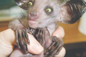 Aye-aye Foto:Oficialmente el primate más extraño del mundo. Con ojos saltones y orejas de murciélago, el Aye-aye (Daubentonia madagascariensis) ha sido durante mucho tiempo perseguidos en Madagascar como un presagio del mal y de la muerte.. Imagen Por: