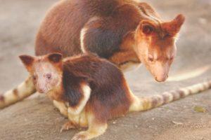 El canguro de árbol (Dendrolagus goodfellowi buergersi) parece la perfecta mezcla genética entre un oso, un mico, un lémur y un koala. Así que eso es ternura multiplicada por 4. Pero las cosas se están poniendo feas para el nativo de Nueva Guinea debido a la pérdida de la selva que es su hábitat.. Imagen Por: