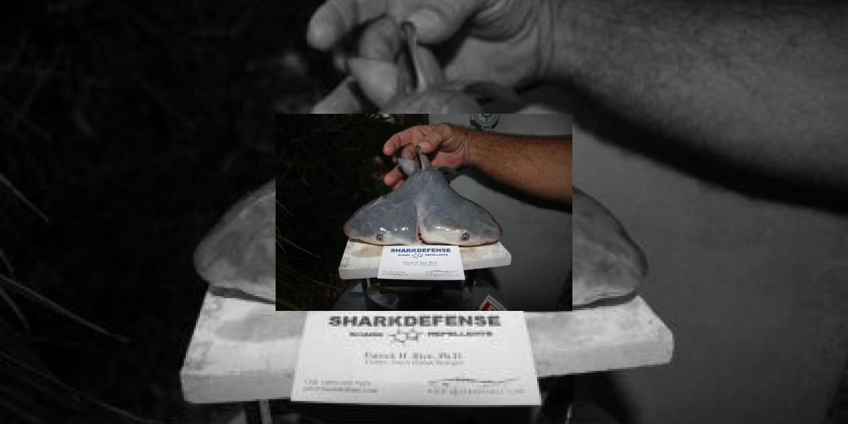 Confirman el hallazgo de un feto vivo de tiburón con dos cabezas en Florida
