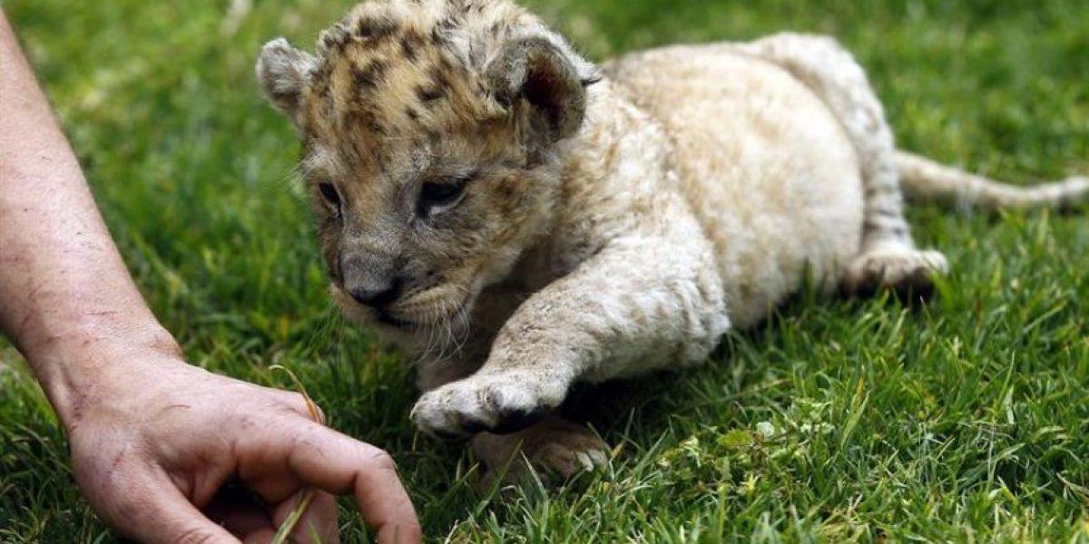 Zoológico de Atenas presenta una cría de león recién nacida