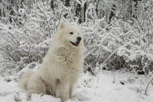 Foto:El perro esquimal canadiense: Es un perro del cual hay muy pocas especies por ello su valor también supera los $ 3.000.000.. Imagen Por: