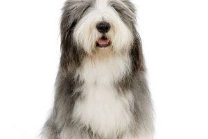 Foto:Bearded collie Un perro utilizado originalmente por los pastores escoceses, que puede alcanzar un costo de $1.000.000 o más.. Imagen Por:
