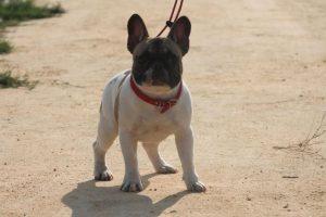Foto:Bulldog francés Este perro de ojos saltones y orejas de murciélago es cada vez más popular y puede alcanzar valores de hasta $2.000.000.. Imagen Por: