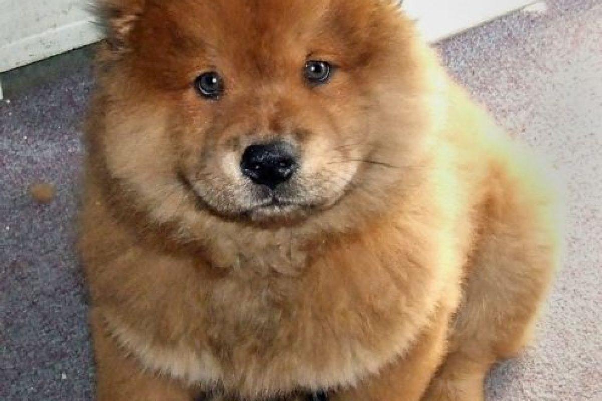 Foto:Chow chow Este perro tiene un particular pelaje, parecido a un león, y puede alcanzar valores cercanos al $1.000.000.. Imagen Por: