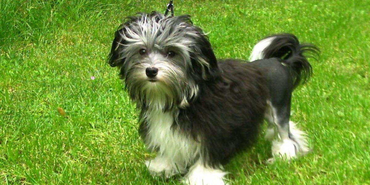 Estas son las 10 razas de perros más caras
