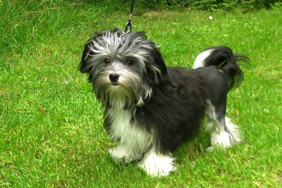 Foto:Löwchen: Es un perro de pelo largo y tamaño pequeño y actualmente puede alcanzar un valor superior a $3.000.000.. Imagen Por:
