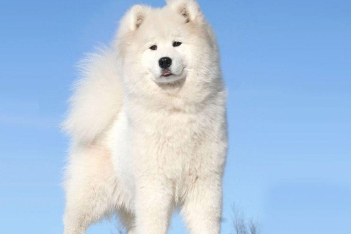 Foto:El samoyedo: Es un perro de trineo siberiano. Es una raza que requiere muchos cuidados y por eso también su valor supera los $3.000.000.. Imagen Por: