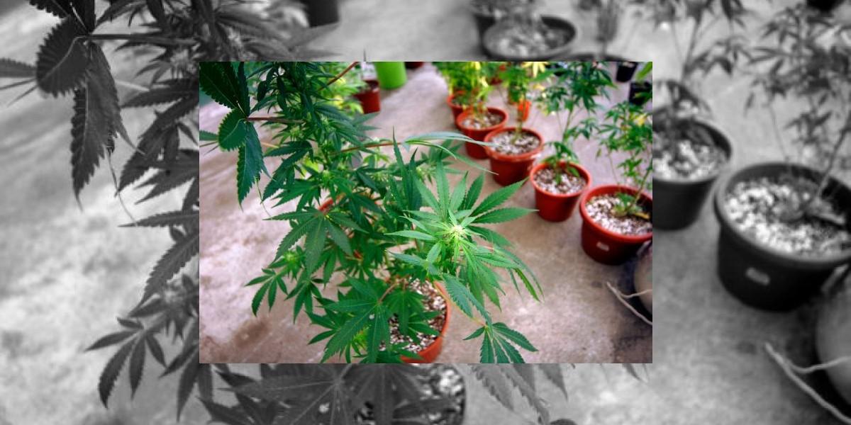 Estas son las regiones con mayor consumo de marihuana