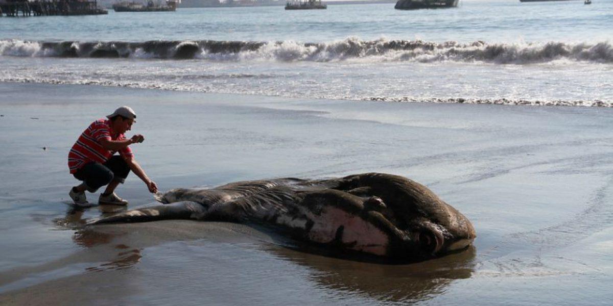 [FOTOS] Enorme pez luna asombra tras ser hallado sin vida en playa iquiqueña
