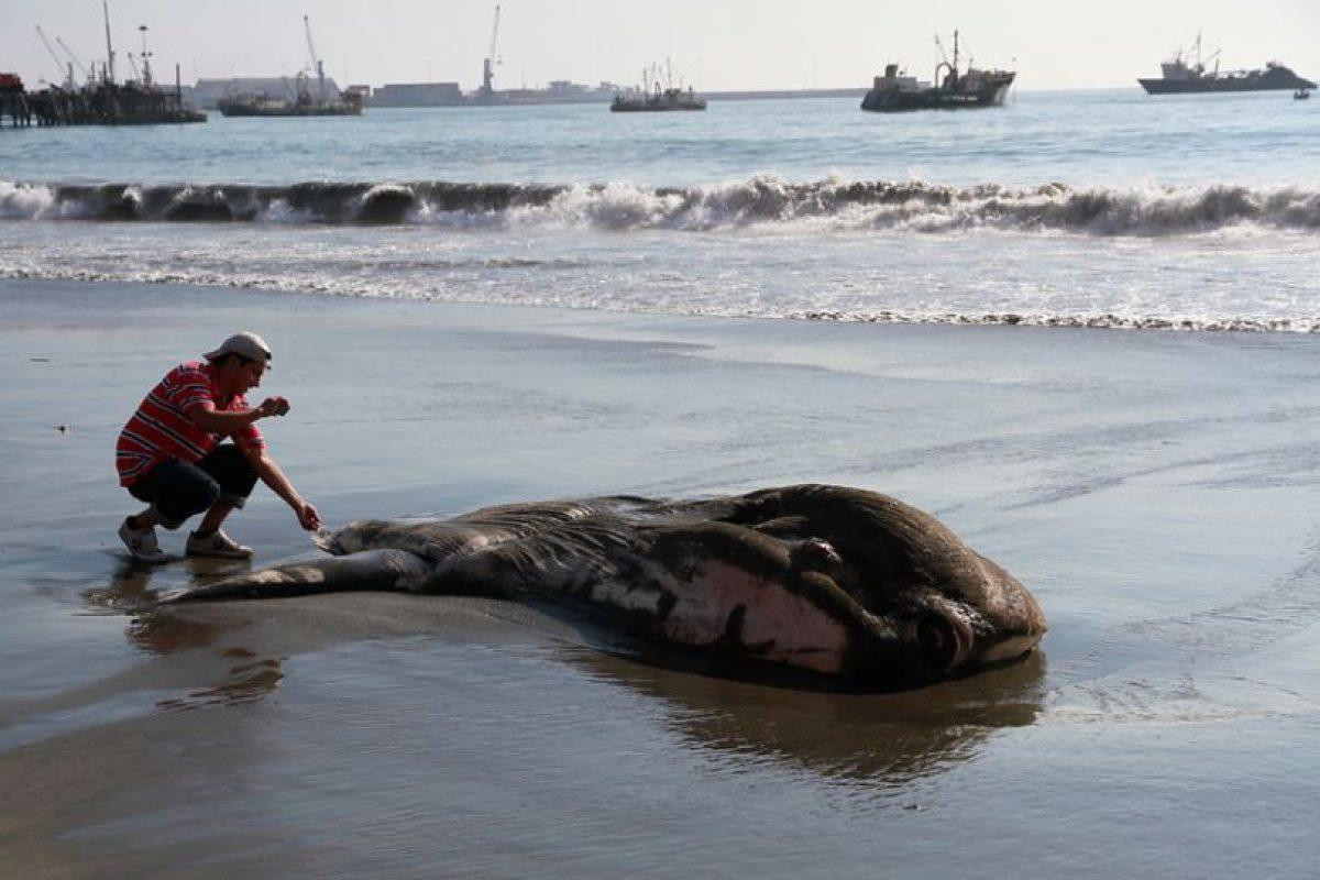 Un enorme ejemplar de Pez Luna de unos 500 kilos de peso, varó muerto en Playa El Colorado, en la ciudad de Iquique. El animal, que se alimentaría de algas marinas, despertó el asombro de las personas que pasaban por el lugar quienes de inmediato comenzaron a fotografiarlo. Foto:Agencia Uno. Imagen Por: