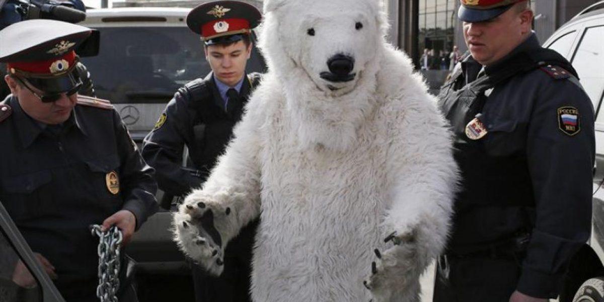 Activista de Greenpeace disfrazado de oso polar es detenido en Rusia
