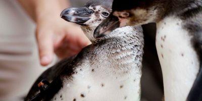 Conoce al animal chileno que está en peligro de extinción