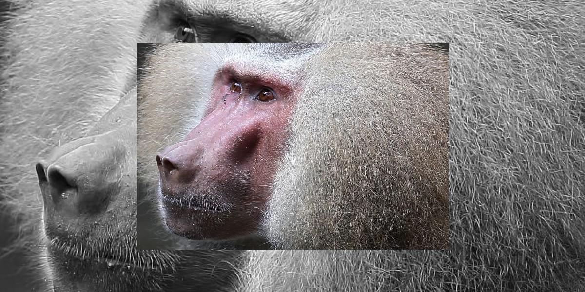 Insólito: Zoo francés expulsa a decenas de monos por vandálicos