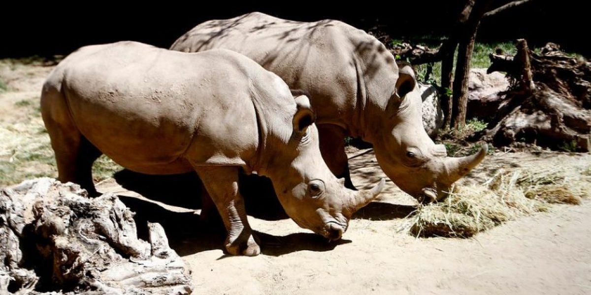 [FOTOS] Buin Zoo presentó los primeros rinocerontes blancos en Chile
