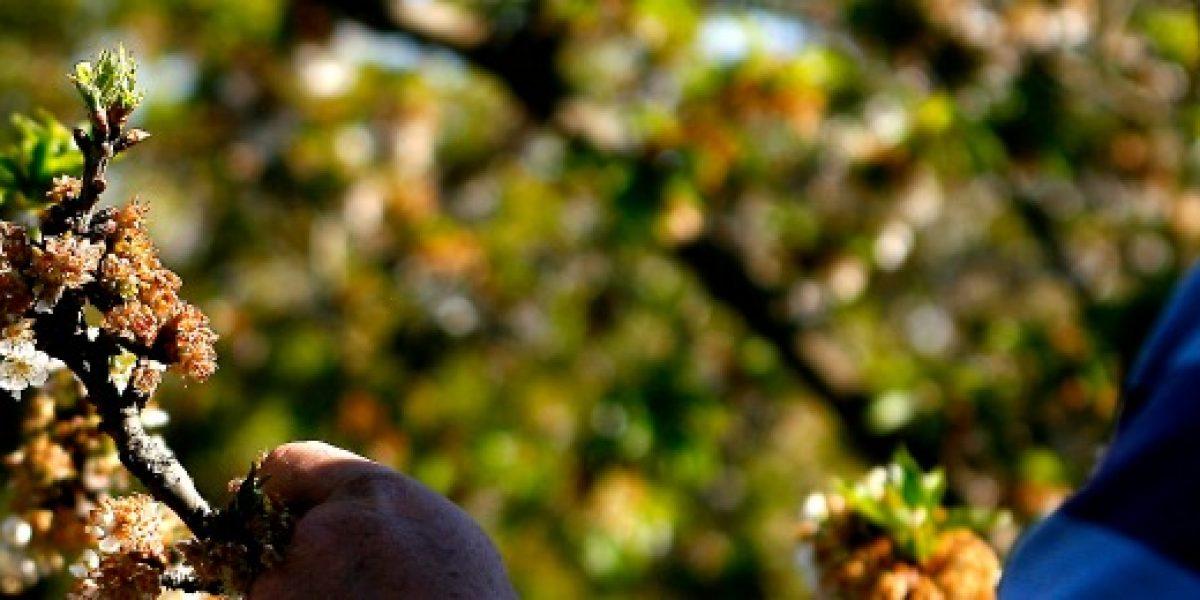 Comunas de la región Metropolitana se suman a Emergencia Agrícola por las heladas