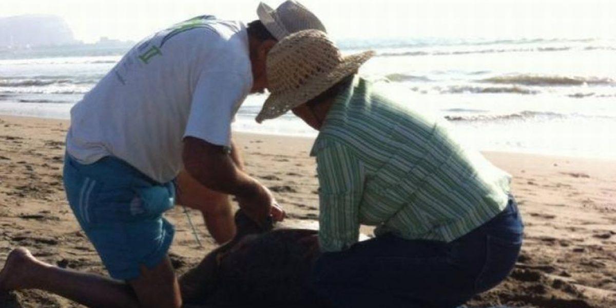 FOTOS: Acusan a pareja de descuartizar a una tortuga en Arica