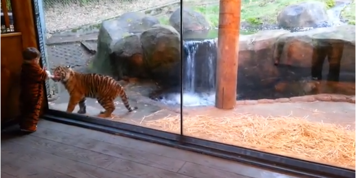 Video: Niño de 2 años juega junto a un cachorro tigre