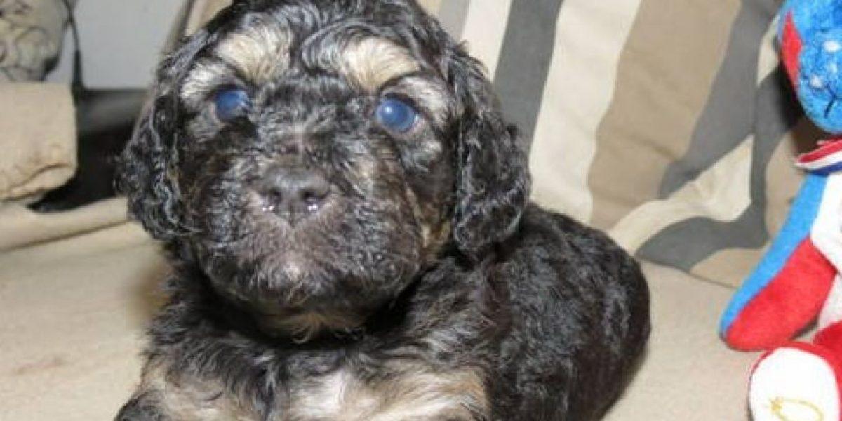 GALERIA: Crean una raza de perro hipoalergénica y que siempre parecerá un cachorro