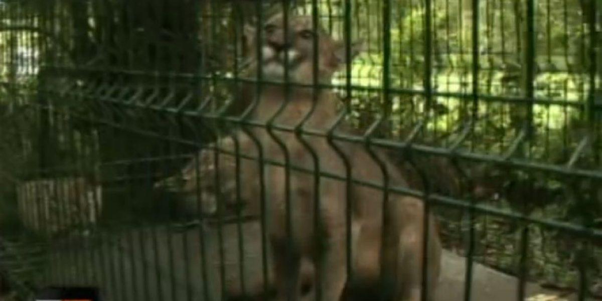 Loable acto en La Araucanía: Agricultor le respeta la vida a puma que devoró casi todo su ganado