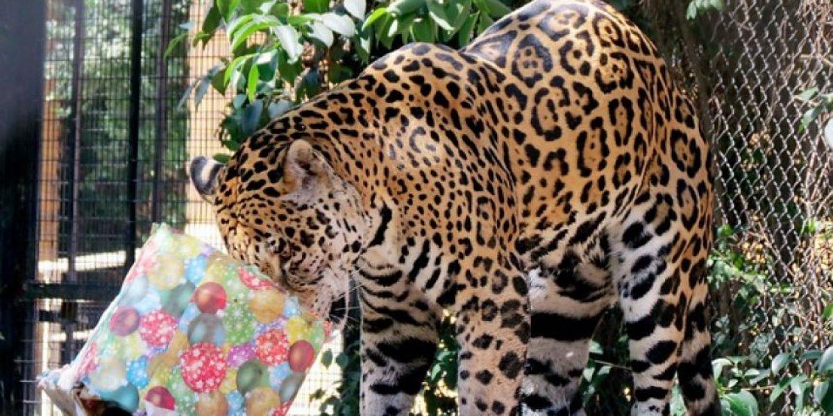 FOTOS: Así celebran la Navidad los animales del Buin Zoo