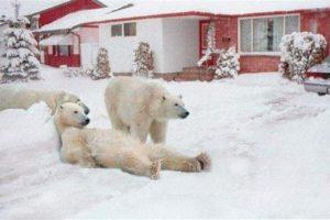 Y siguiendo con los osos polares, esta tierna imagen se creó cambiando el fondo de la Bahía de Hudson en Canadá por una casa. Foto:Blog Ceslava.com. Imagen Por: