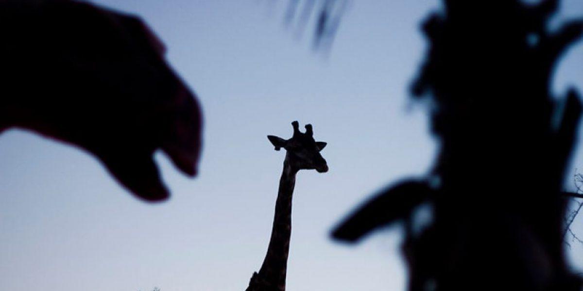 [FOTOS] Grandes y chicos disfrutaron del recorrido nocturno del Buin Zoo