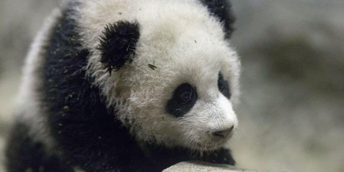 Este oso panda bebé espera por su estreno en el Zoológico de Washington