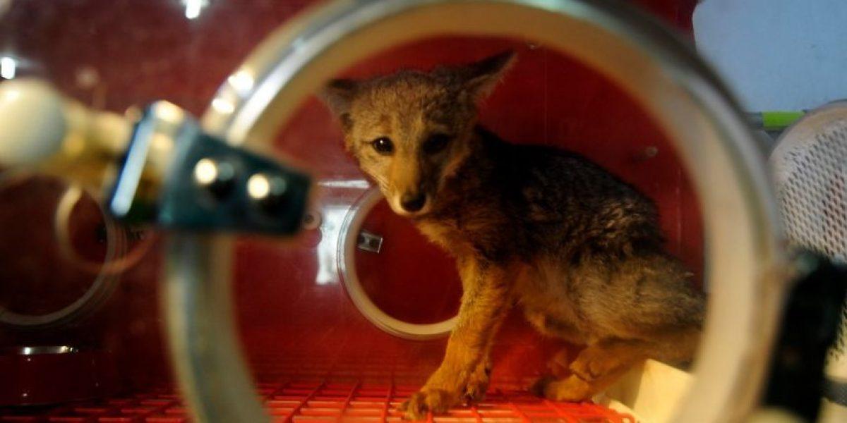 [FOTOS] Pequeño zorro culpeo fue rescatado del incendio en Placilla