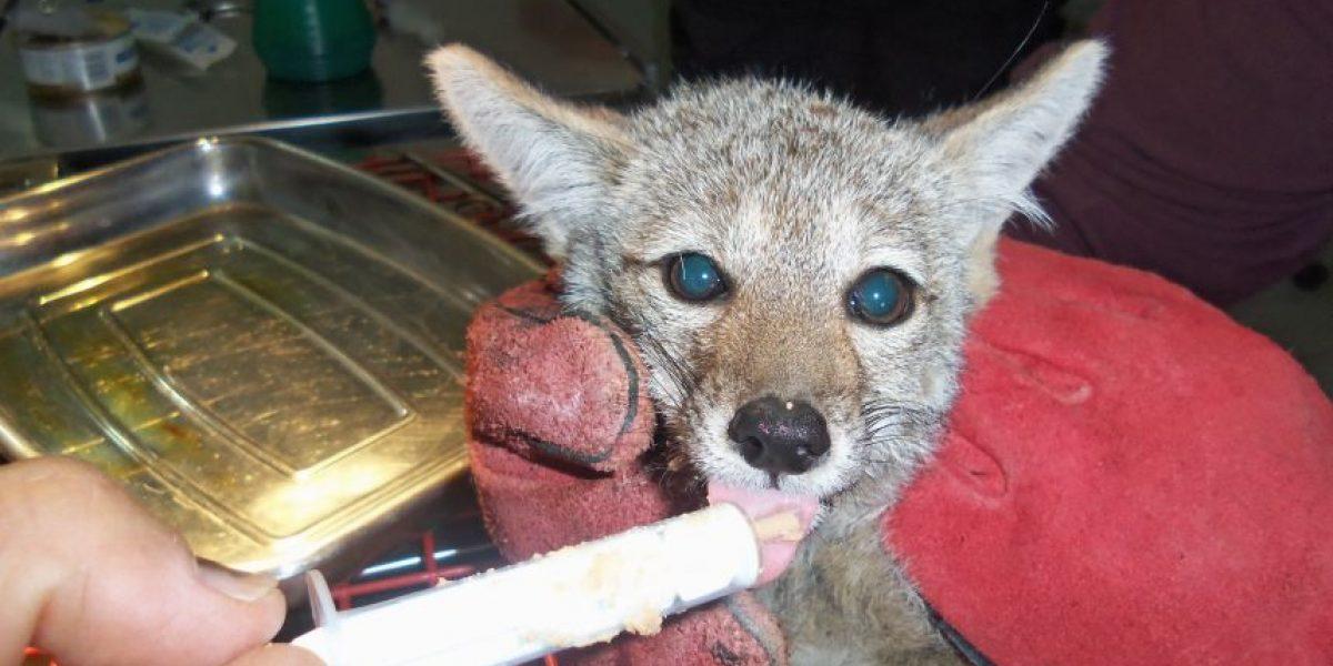 La historia del zorro culpeo rescatado del incendio forestal en Curauma