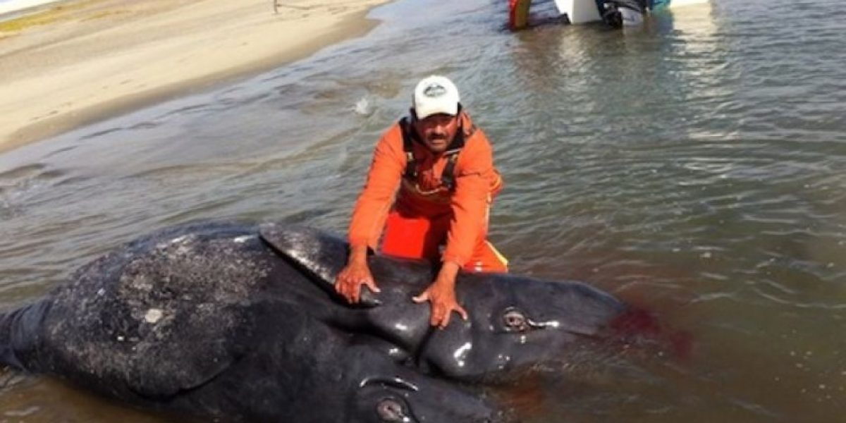 FOTOS: Hallan una cría de ballena con dos cabezas y dos colas en México