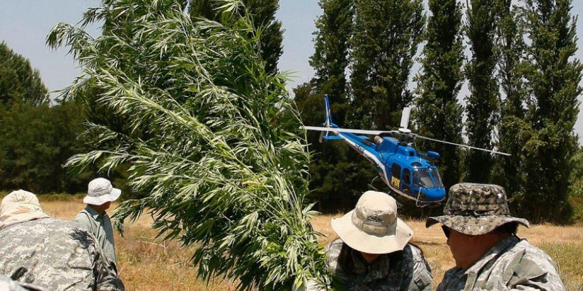 [FOTOS] Incautan más de 20 mil plantas de marihuana en Curicó