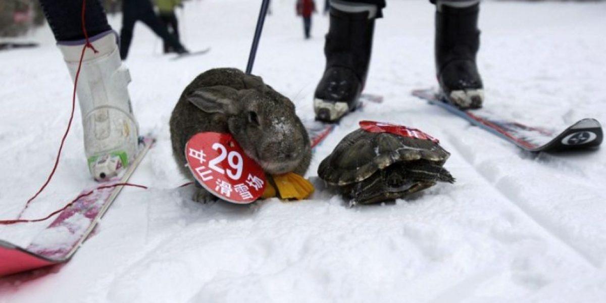 Insólito: Una tortuga vence a un conejo en una carrera de esquí