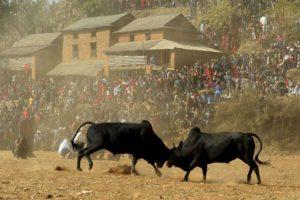 Residentes nepaleses observan una pelea de toros durante el festival Maghesangranti en la aldea en el distrito de Nuwakot Taraka, a unos 80 kilómetros de Katmandú. Foto:AFP. Imagen Por:
