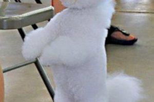 Cómo lo conoce la gente: perrito de shrek, tú sí cabes en mi casa Foto:Flickr Image. Imagen Por: