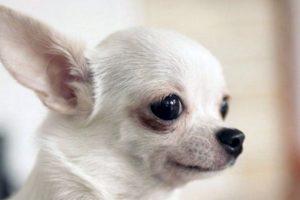 Cómo lo conoce la gente: pulga, perro ojón Foto:Flickr Image. Imagen Por: