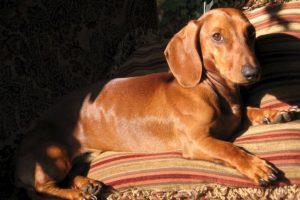 Cómo lo conoce la gente: perro Salchicha Foto:Flickr Image. Imagen Por: