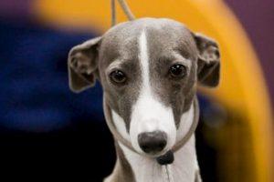 Cómo lo conoce la gente: Perro flaco de carreras Foto:Flickr Image. Imagen Por: