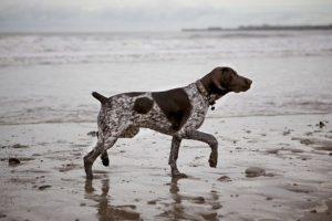 Cómo lo conoce la gente: perro que apunta Foto:Flickr Image. Imagen Por: