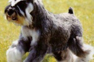 Cómo lo conoce la gentel: perro con faldita o perro con bigote Foto:Flickr Image. Imagen Por: