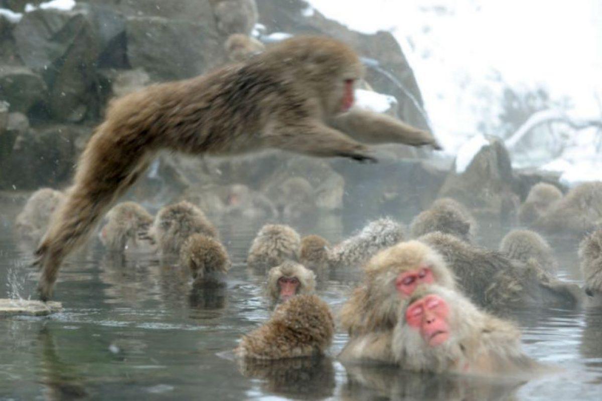 """Monos macacos japoneses, conocidos como """"monos de nieve"""", toman un baño de aguas termales al aire libre en la ciudad de Yamanouchi, prefectura de Nagano. Foto:AFP. Imagen Por:"""