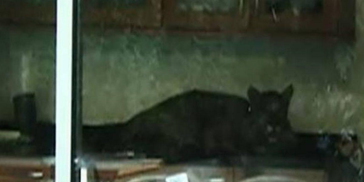 [FOTOS] Puma entra a una vivienda de Lo Curro, Vitacura