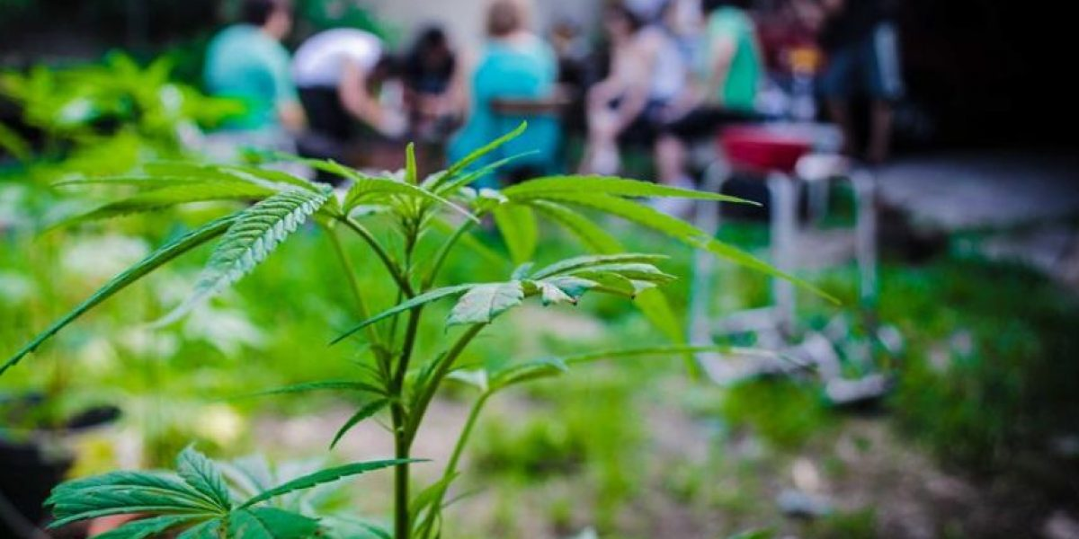 [FOTOS] Uruguay dicta clases de cultivo de marihuana en huerto para principiantes