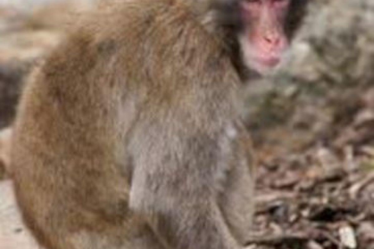 Tailandia es el lugar elegido a realizar un buffet para monos macaco. En Lopburi son vistos como portadores de buena fortuna y buena suerte. Cada año se reúnen más de dos toneladas de comida para estos animalitos. Foto:Wikipedia. Imagen Por:
