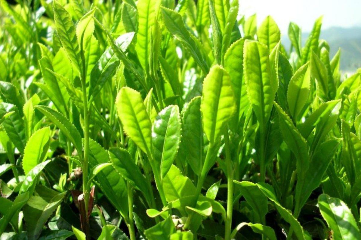 El té verde combate el mal aliento por los polifenoles que contiene. Foto:Wikipedia image. Imagen Por: