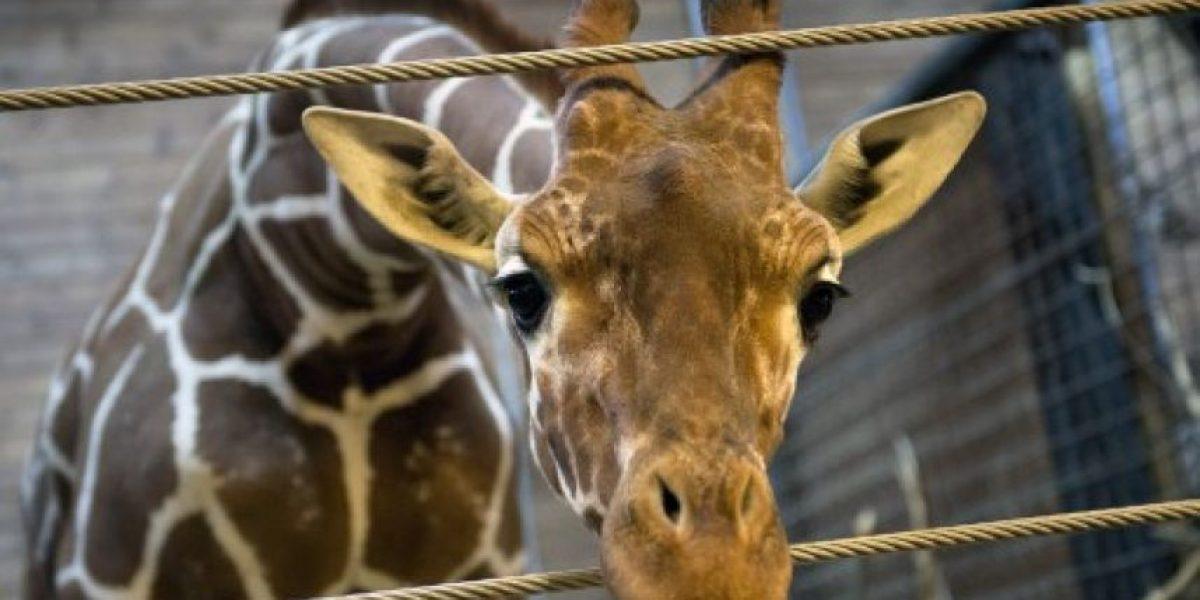 Indignación por jirafa sacrificada: Zoo danés justificó su acción