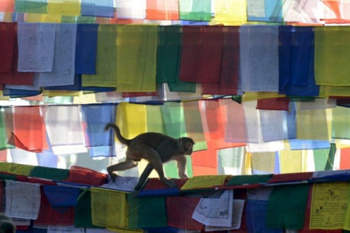 Un mono se acerca a las banderas de oración en el templo de Saraswati, en Nepal. Foto:AFP. Imagen Por: