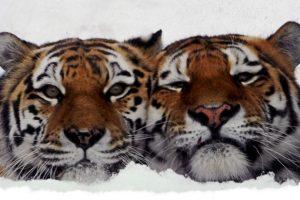 Dos tigres se sientan en su jaula en el zoológico de Leningrado, en San Petersburgo, Rusia. Foto:AFP. Imagen Por: