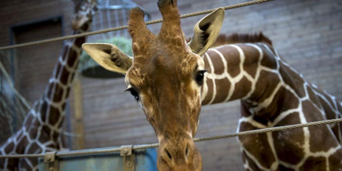 ¿Qué les pasa? Otro zoológico de Dinamarca planea matar a una jirafa
