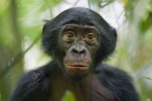 Fotografía realizada por el alemán Christian Ziegler, para la revista National Geographic, que ha ganado el tercer premio en la categoría Naturaleza de la 57ª edición del World Press Photo. Esta fotografía muestra a un bonobo, también llamado chimpancé pigmeo, de cinco años, en la reserva Kokolopori Bonobo, en la República Democrática del Congo. Foto:EFE. Imagen Por: